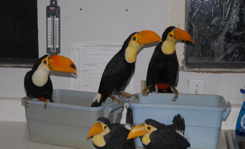living koh tao adorable toco toucan pair for adoption give pets